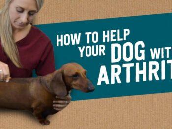 Dachshund Arthritis