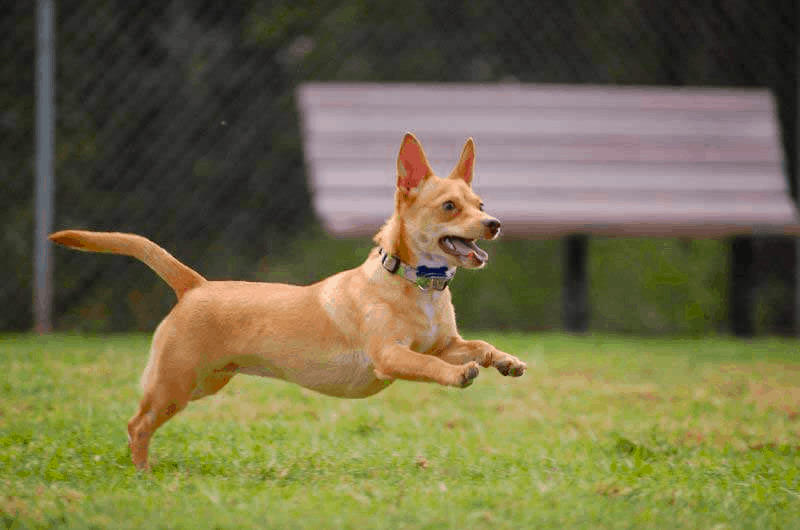 How much exercise does a Chiweenie need?