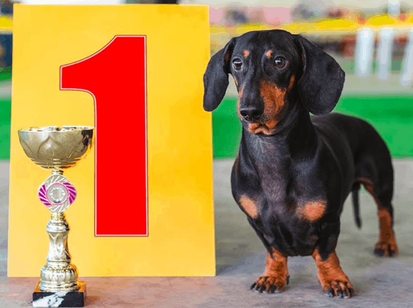 Dachshund Dog Shows