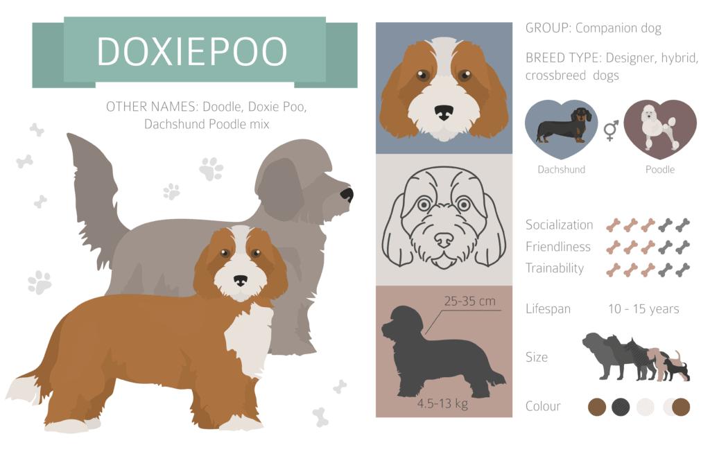 Dachshund Poodle Mix
