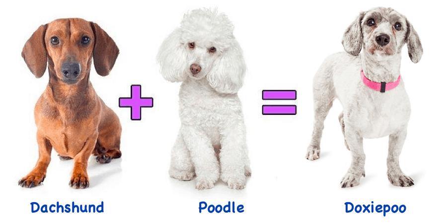 Dachshund Poodle Mix Dog