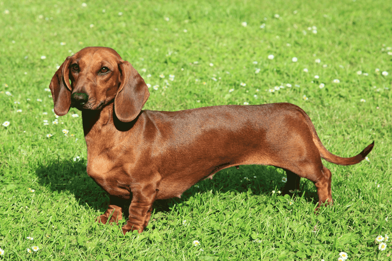 Dachshund Standard Breed