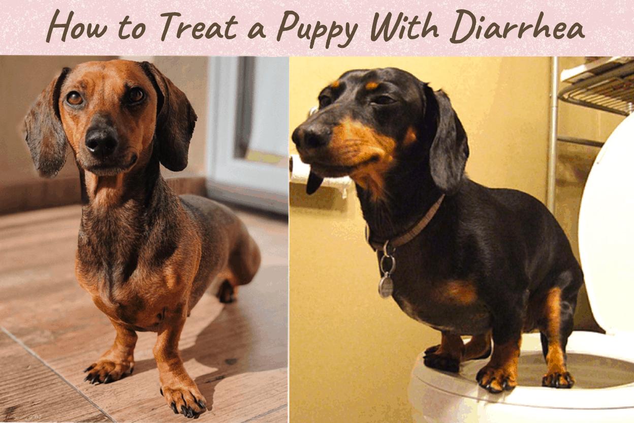 Dachshunds with Diarrhea