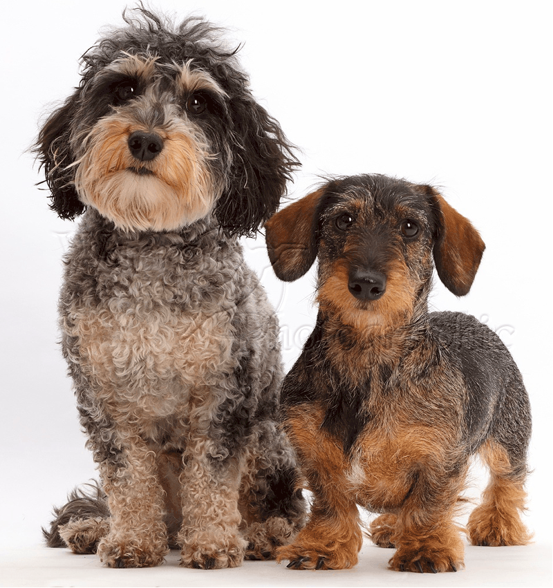 Doxiepoo and Wire-haired dachshund