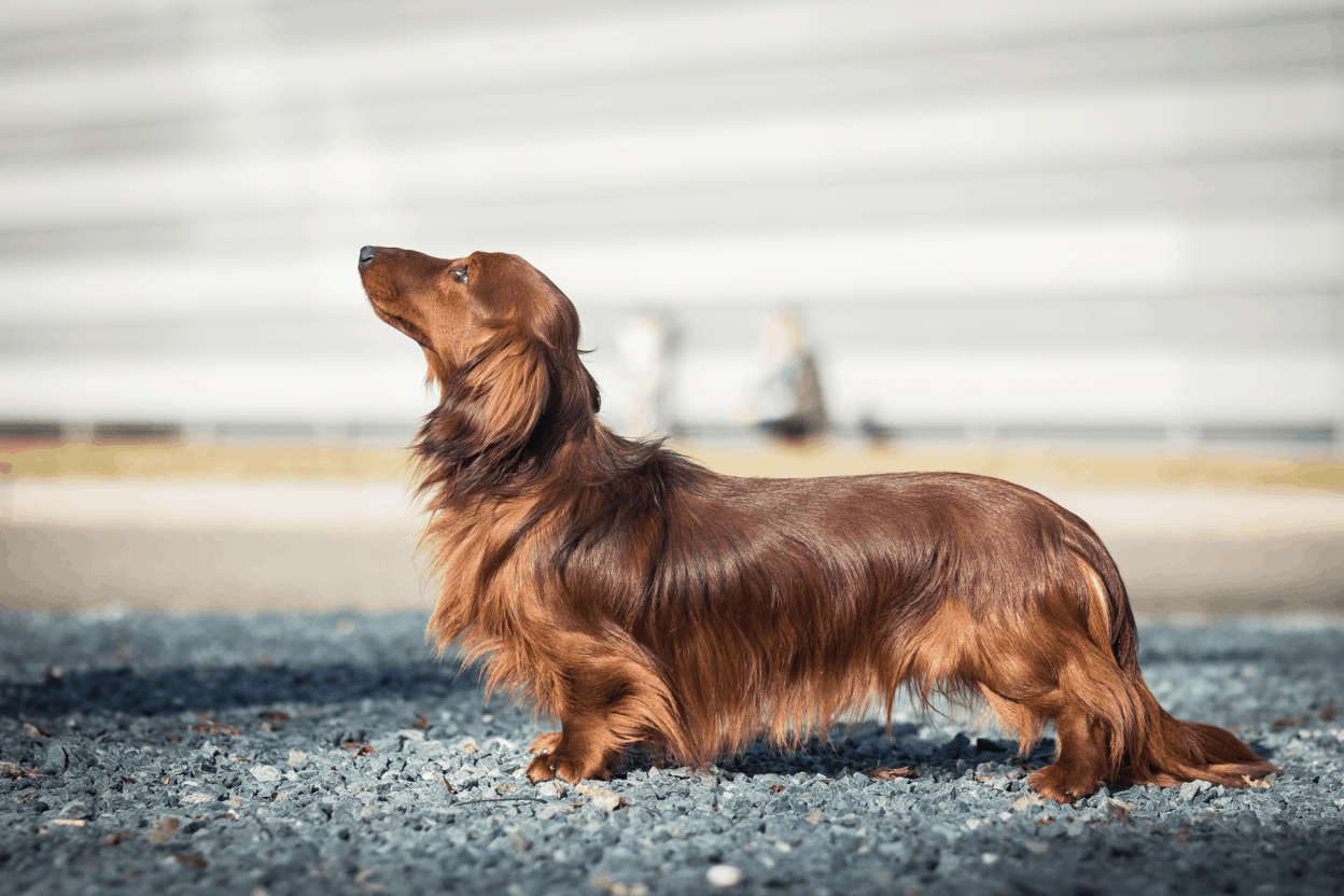 Long Haired Dachshund Breed