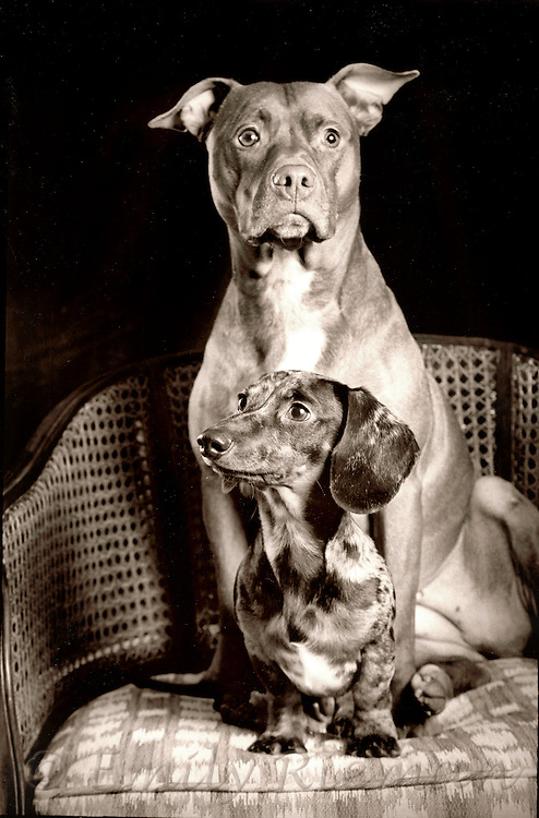 Pitbull and Dachshund Breeds