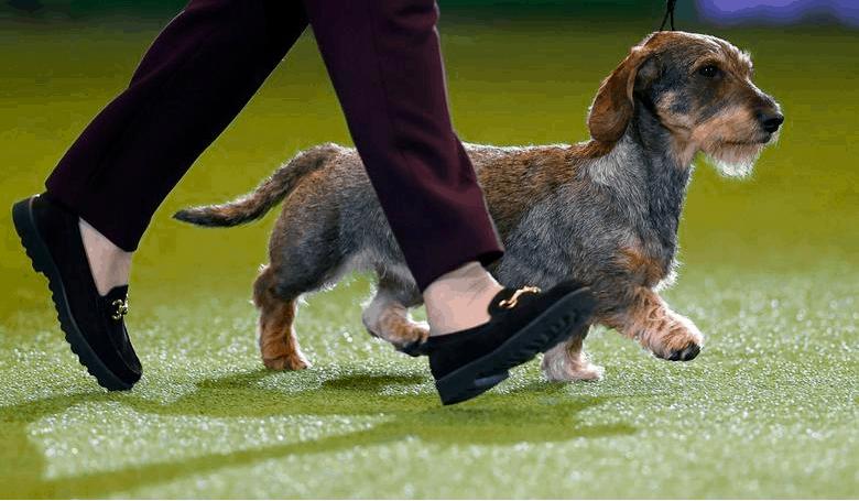 Prepare for Dog Show