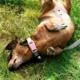 dachshund rolling on the yard