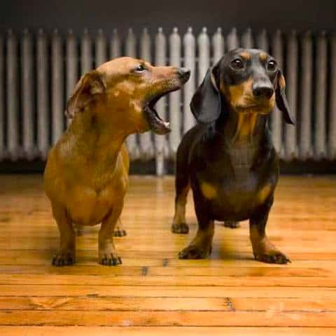 dachshunds talk with each other