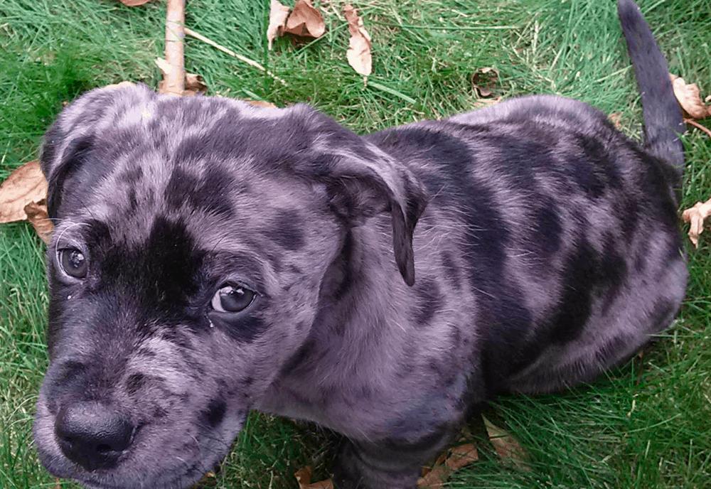 grey pitbull and dappled dachshund mix