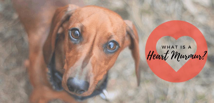 heart murmurs in dachshund