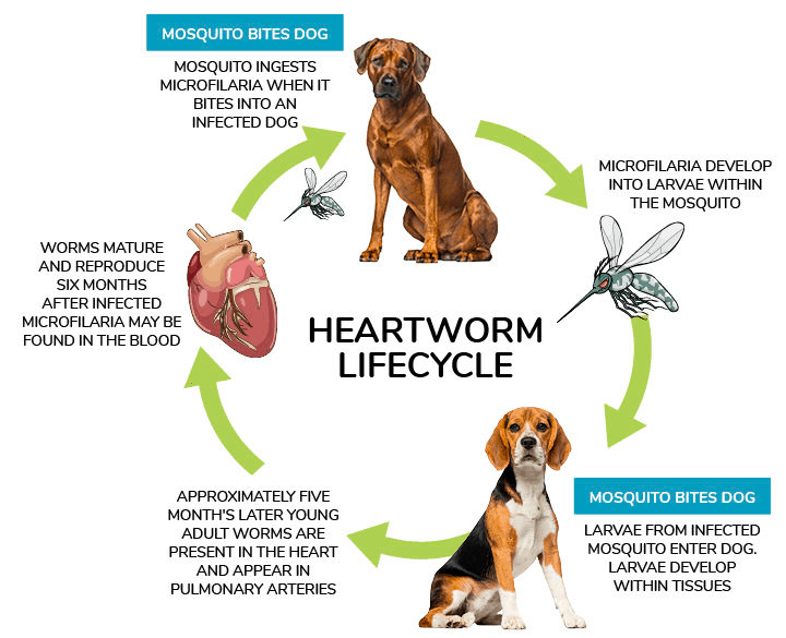 heartworms life cycle
