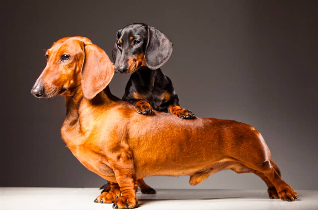 standard and miniature dachshund