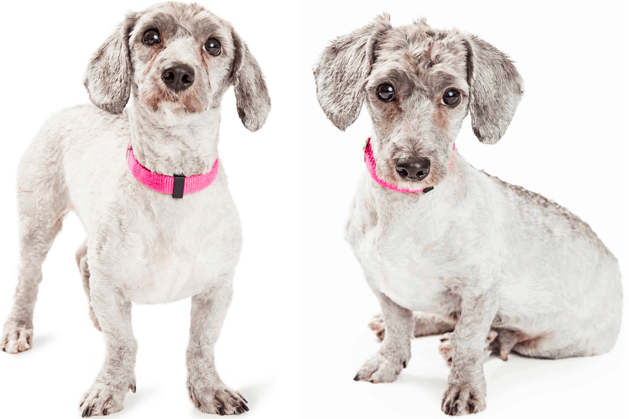 Doxiepoo = Poodle + Dachshund