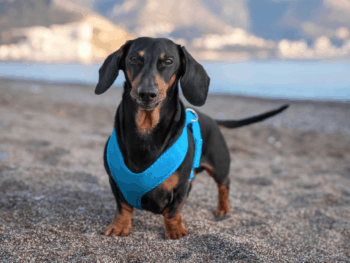 Best Dachshund Harness