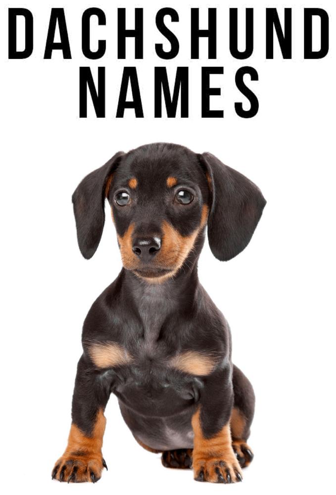 Best Unique Dachshund Names