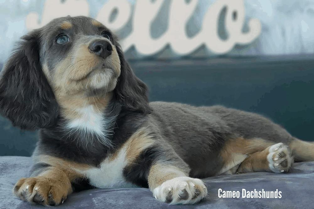 Cameo Dachshund Breeder in Florida