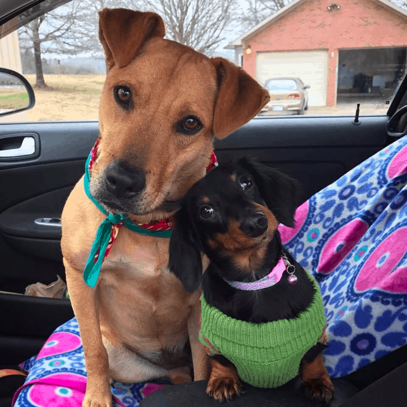 Dachsador Good with other dogs