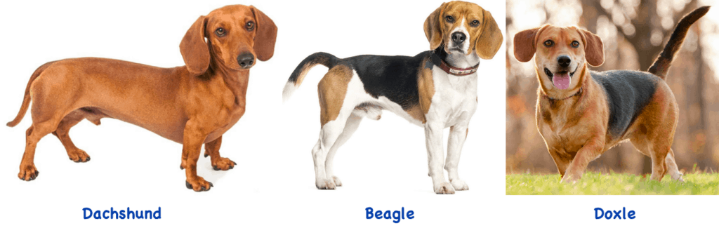Dachshund - Beagle - Doxle