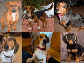 Dachshund Beagle Mix