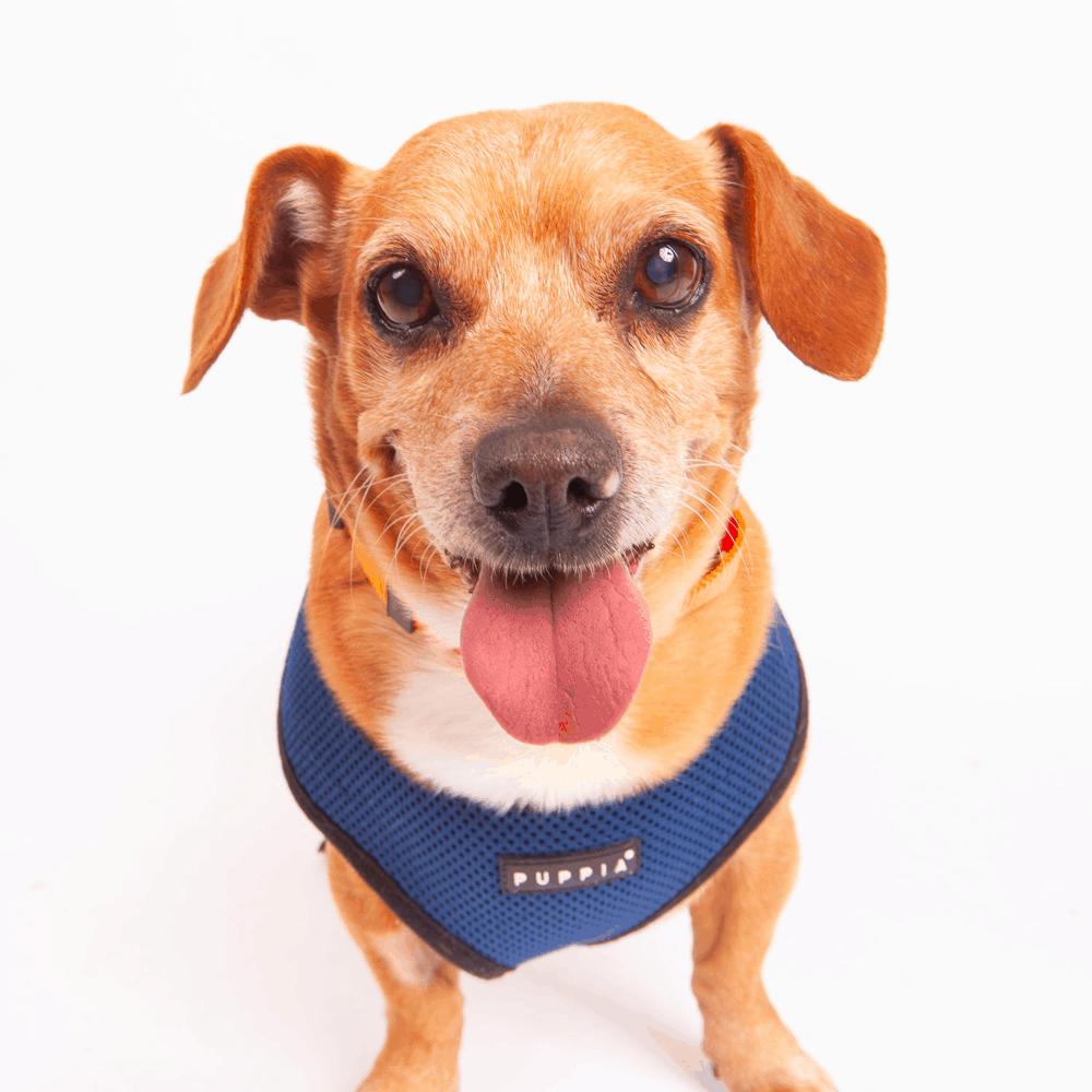 Dachshund Beagle Mix Face