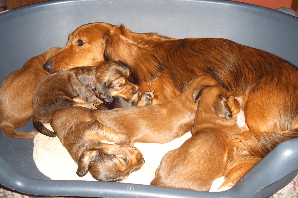 Dachshund Breeding Rules