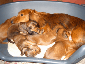 Dachshund Breeding Rules