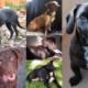 Dachshund Labrador Retriever Mix