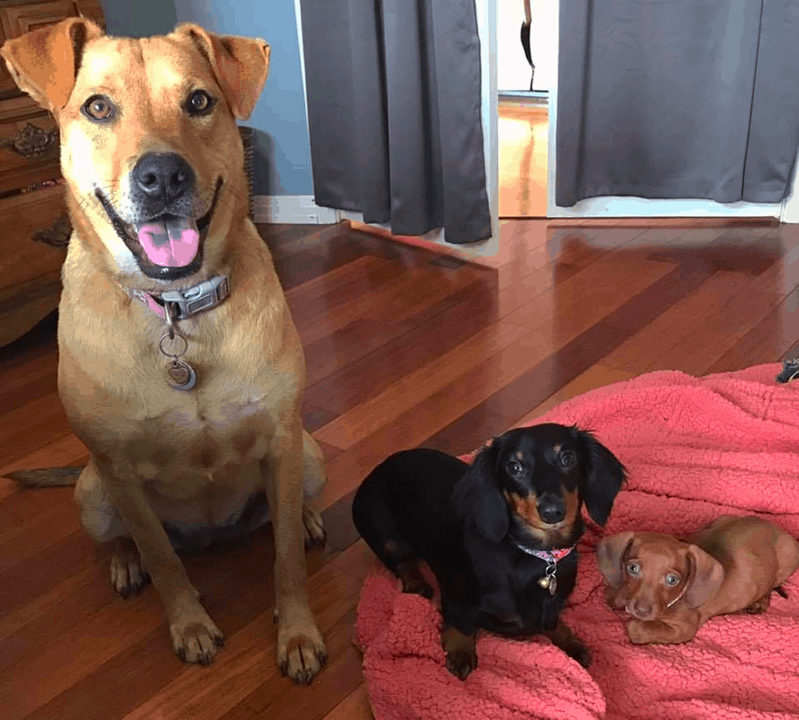 Dachshund and Labrador Retriever Breeds