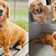 golden retriever dachshund mix