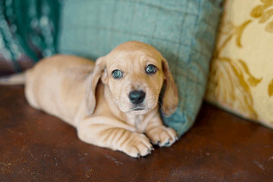 golden retriever dachshund puppy