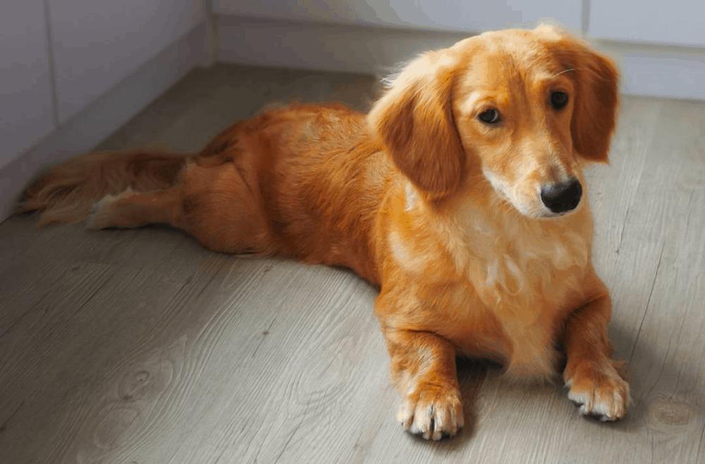 Golden Weenie Dog
