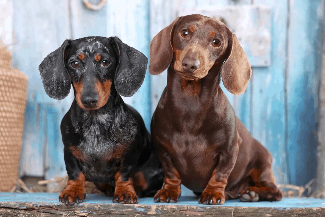 Male or Female Dachshund