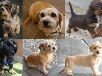 dachshund shih-tzu mix