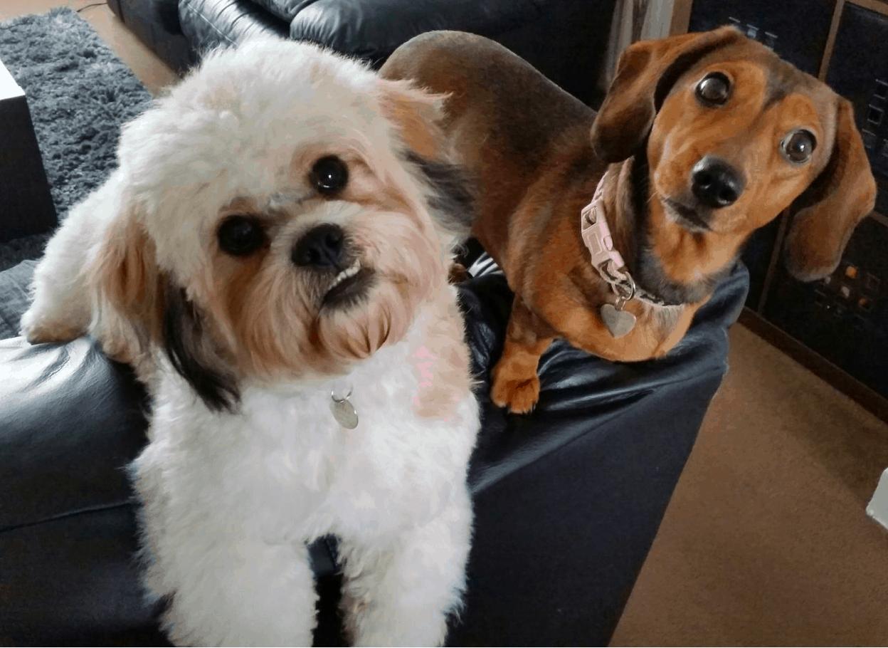 Shih Tzu and Dachshund Breeds
