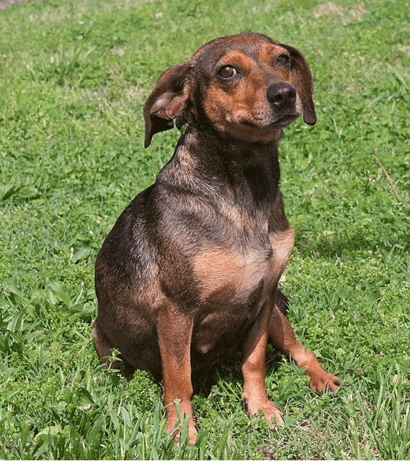 dachshund beagle crossbreed