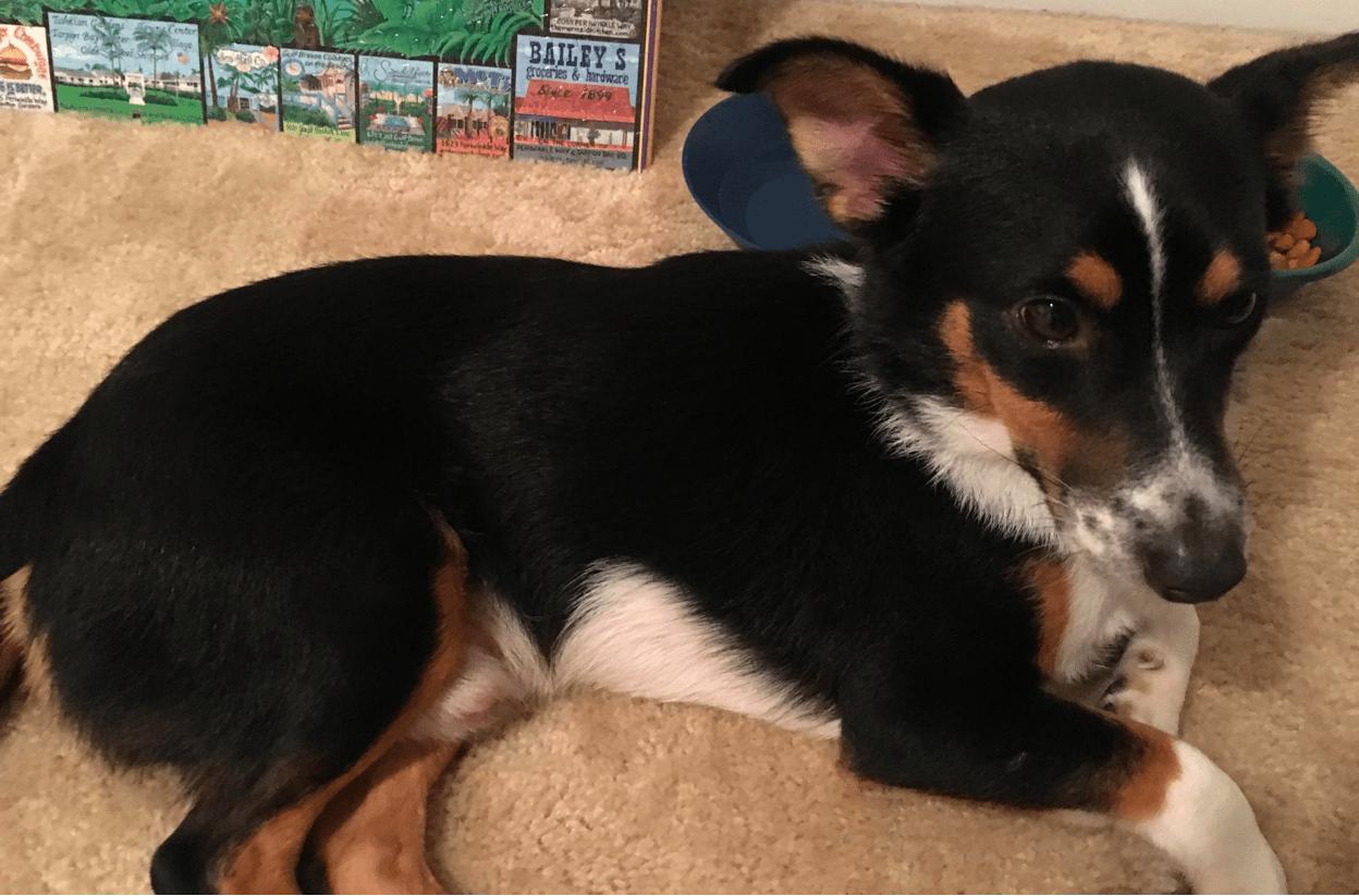 pembroke welsh corgi dachshund mix