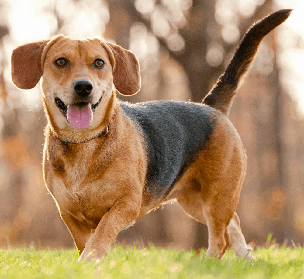 weiner beagle mix