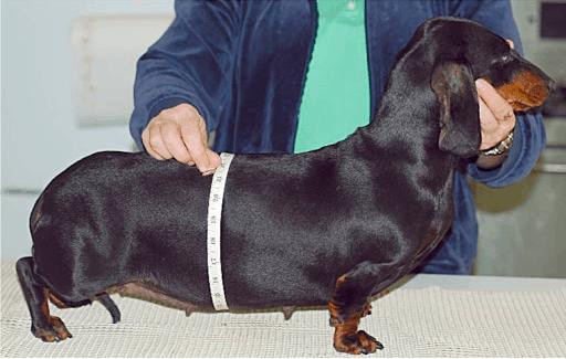 4 weeks pregnant dachshund