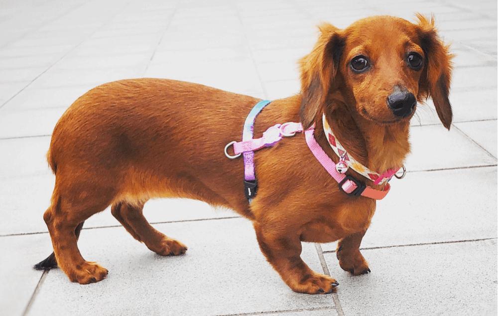 6 month old female dachshund