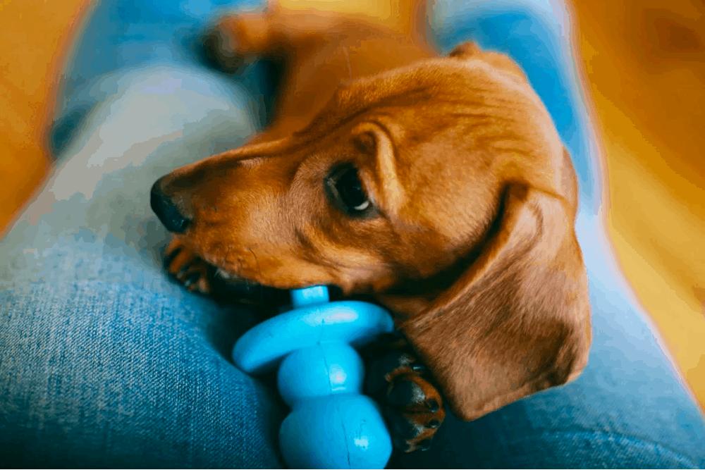 Best Chew Toys for Dachshund
