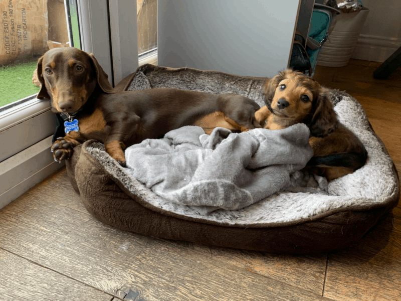 Best Dog Beds for Dachshund