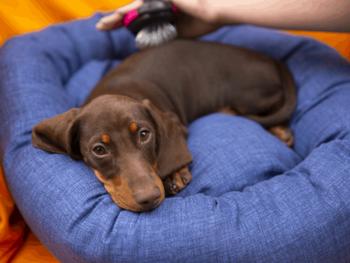 Best Dog Brush for short-haired Dachshund