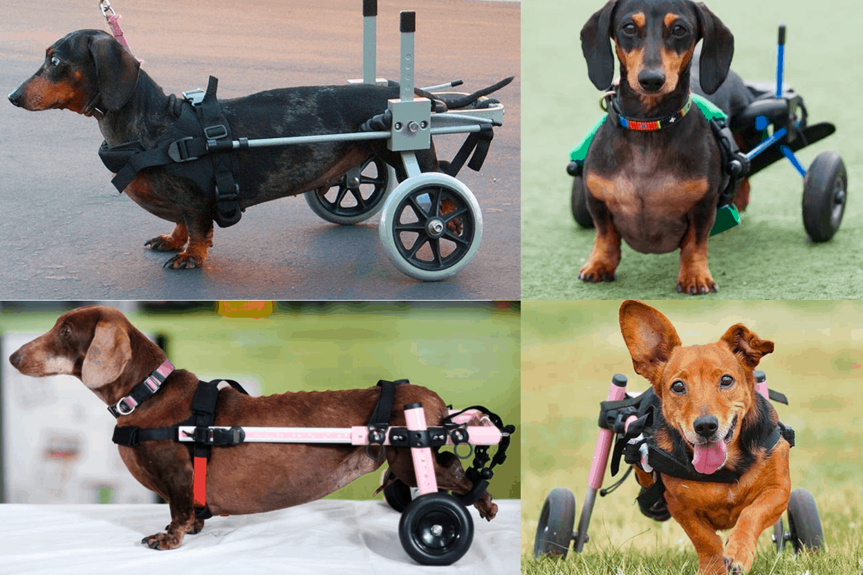 Best Dog Wheelchair for Dachshunds