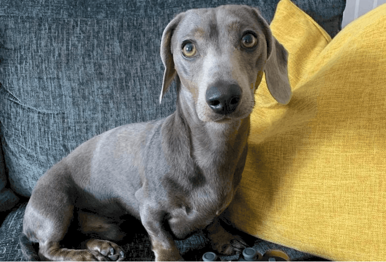 Blue and Grey Diluted Dachshund