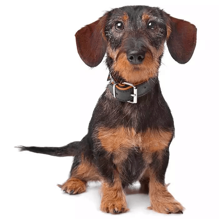 Chocolate Boar Wire-haired Dachshunds