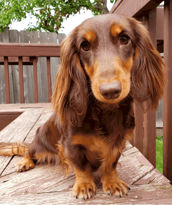 Chocolate and Cream long haired Dachshund