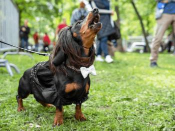 Dachshund Barking at Strangers