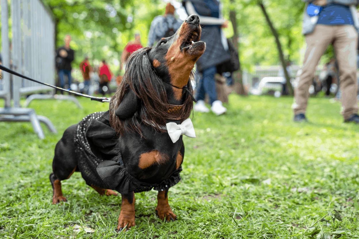 Why Do Dachshunds Bark at Strangers?