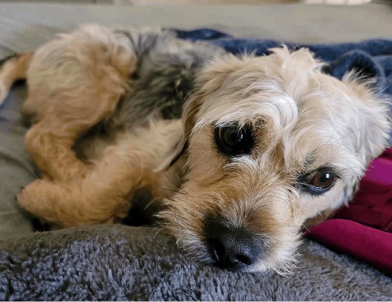 Dachshund Yorkshire Terrier Mix